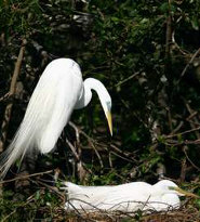Great White Egrets nesting at the Venice Rookery