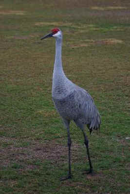 Sandhill Crane Picture Gallery Bird Photography With Digital Cameras